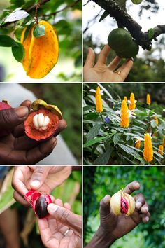 Fruits and Vegetables of Dominica