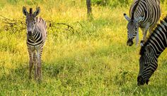 What's cuter? Baby zebras or baby warthogs? Watch and decide when you visit on Mabalingwe. Baby Warthog, Baby Zebra, Animal Species, Game Reserve, African Animals, Nature Reserve, Zebras, Cute Babies, Wildlife