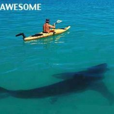 Look at the size of this shark next to the guy in the kayak. Not sure this guy will fond it awesome though lol
