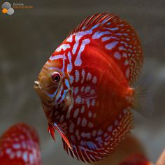 Wow. I am impressed by this flashy Discus.