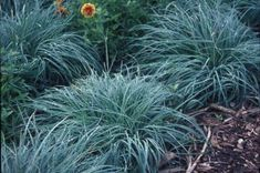 Wanted some blue/gray for the front yard landscaping. Here it is: Blue Sedge.