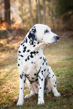 Dalmatian | Dog