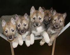 Tamaskan pups-NC State