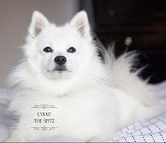 """627 likerklikk, 23 kommentarer – FRIENDLY DOG  - LYKKE  🎀 (@lykkethespitz) på Instagram: """"HAPPY NEW WEEK! ✨  hope you all had a great weekend. Did you do anything fun? ❤️ tell me about it…"""""""