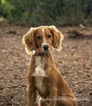 Image result for working cocker spaniel