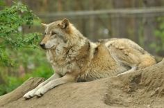 Lueneburger Heide Wolves 3 by windfuchs on DeviantArt Gray Wolf, Stock Photos, Animals, Image, Wolves, Animais, Animales, Animaux, Animal