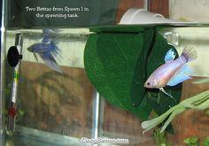 Breeding Betta Fish: 9 Proven Steps To Breed Betta Fish The Easy Way Beta Fish Care, Breeding Betta Fish, Fish Tank Design, Fishing For Beginners, Betta Fish Tank, Freshwater Aquarium Fish, Siamese Fighting Fish, Beautiful Fish, Planted Aquarium