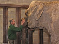 Home at last: The 59-year-old elephant is greeted by staff at Longleat where she will move into a six acre enclosure.