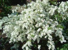 Exochorda racemosa 'The Bride'