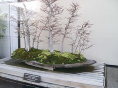 My favorite Bonsi inspiration from Longwood Gardens. Mini Forest!