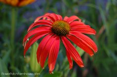 Echinacea, a Grand Garden Flower and Butterfly Magnet