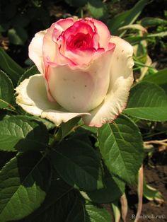 ~Rose Dolce Vita +, Srezochnyh (Florists rose), Lex Voom Netherlands 2001