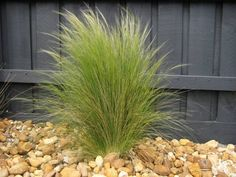 When it comes to grass, Mexican feather grass is definitely worth considering especially by homeowners who are looking for a low maintenance grass; is ideal only for the summer season, it has proven to withstand the cold climate as well.doesn't require too much maintenance and what's more it is pest free and can withstand the drought.