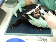 Black Bear Cub #13-0389 | The Wildlife Center of Virginia