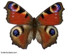 Peacock Butterfly ( Inachis io) asia, butterfly, pictures, photos, picture, photo, pics
