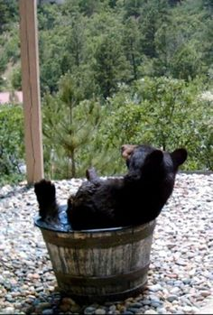 This is nature taking a break: Rain barrel with bear. People living in Colorado Springs wondered why their rain water bar. Animals And Pets, Baby Animals, Funny Animals, Cute Animals, Wild Animals, Baby Pandas, Animals Photos, Beautiful Creatures, Animals Beautiful