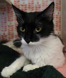 Hope is an adoptable Domestic Medium Hair Cat in Woodland, CA. Hope (A116673) is an approximately three year old kitty in need of a loving home at Yolo County Animal Services.  Hope came in to the she...