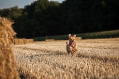 #Catcherintherye #Hund läuft über abgeerntetes #Roggenfeld. #Strohballen