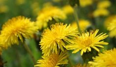11 Health Benefits of Dandelion and Dandelion Root 4.38/5 (87.55%) 644 votes Dandelion is most often thought of as a pesky weed that takes over in lawns, gardens, meadows, and even pops up in cracked sidewalks and pavement. It is invasive and pervasive. Lucky for us, it is also an excellent food and herbal medicineRead moreView comments (207)