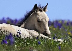 Wild Mustang ~ Dusty's Dream photographed by Deb Little