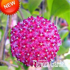 Hoya Seeds,Potted Flowers Bonsai plants Hoya Seed, Orchid Seed 100 Particles/Pack