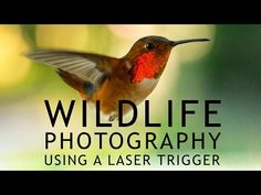 How to Photograph Hummingbirds with a Laser Trigger – PictureCorrect