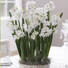 Narcissus Ziva Ziva has big clusters of snowy white flowers with a sweet, musky fragrance. These tropical daffodils, also known as paperwhites, can be grown outdoors in zones 8-11. In cooler areas the