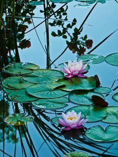 Waterlillies Water Lilies Painting, Lotus Pond, Water Flowers, Lotus Flowers, Pink Lotus, Photo D Art, Lily Pond, Flower Quotes, Christmas Aesthetic