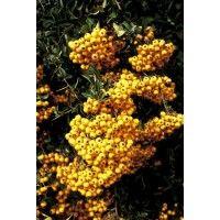De Gele Vuurdoorn Of Pyracantha Soleil Dor Genoemd Is Een Wintergroene Plant Die Zowel Als Klimplant Heester En Als Haagplant Gebru Klimplanten Planten Bessen