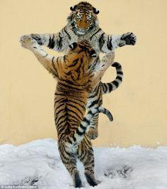 Happy Slappy Tigers