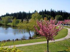 Flowering Cherry Tree Boundary Park Surrey BC