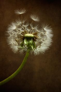Dandy by Mandy Disher, via 500px
