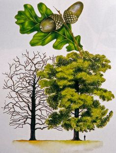 watercolour of oak tree. Perdunculate oak, Dair ghallda