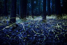 © Spencer Black / National Geographic 2014 Photo Contest Blue Ghost Fireflies in Brevard, North Carolina. Blue Ghost fireflies are unique because they stay lit and only hover about a foot off the ground. Vida Natural, Belleza Natural, Natural Beauty, Carolina Do Norte, North Carolina, Carolina Blue, Carolina Usa, North Dakota, Firefly Photography