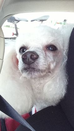 Poodle going to Key West.
