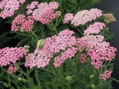 Pink Grapefruit Tutti Frutti Yarrow - Achillea - Tough as Nails! House Plants For Sale, Plants For Sale Online, Unique Flowers, Colorful Flowers, Pink Flowers, Yarrow Plant, House Plant Delivery, Drought Tolerant Garden, Achillea Millefolium