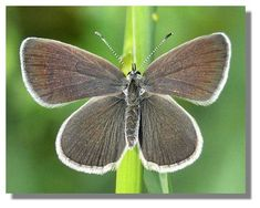 Small Blue-hibernates in Scotland Flora And Fauna, Butterflies, Scotland, Blue, Paper Butterflies, Paper Envelopes, Butterfly, Bowties