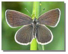 Small Blue-hibernates in Scotland Natural World, Scotland, Butterflies, Flora, Blue, Paper Butterflies, Paper Envelopes, Butterfly