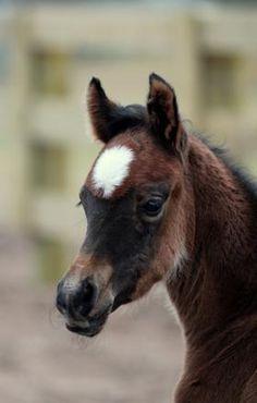 Cute baby foal horse. SA EUNIK (ZT Shakfantasy x Eunora/Gazal Al Shaqab)