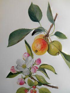 Apple Blossom Vintage botanical print, 1924 antique fruit tree lithograph