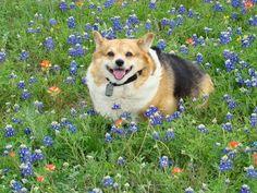 The Daily Corgi: 33 #Corgi Smiles in Meadows of Texas Bluebonnets!