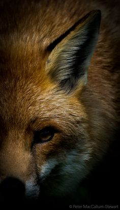 Red Fox by Peter MacCallum-Stewart on 500px