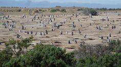 Punta Tombo, Argentina#Punta Tombo est un cap rocheux au sable compact qui s'étire sur presque 3 km de long. Ce n'est pas une ville mais une réserve naturelle unique en son genre... On y trouve la plus grande colonie de pingouins (manchots de Magellan) au monde. De septembre à mars, il sont plus d'un million sur ce petit bout de terre.#http://urlz.fr/3geM#Merelmarccaphornier, Wordpress#6,6,12