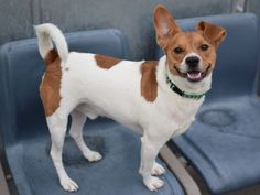 SAFE 5-17-2015 --- TO BE DESTROYED 5/162015 Brooklyn Center My name is SPOTTY. My Animal ID # is A1027517. I am a neutered male white and tan jack russ terr mix. The shelter thinks I am about 1 YEAR 9 MONTHS old. I came in the shelter as a RETURN on 05/08/2015 from NY 11207, owner surrender reason stated was NO TIME.