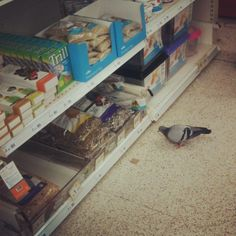 http://www.reddit.com/r/mildlyinteresting/comments/2z7y9j/saw_this_pigeon_in_a_shop_checking_out_the_prices/