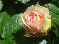 "Rose cultivars named after people ""Cesar"""