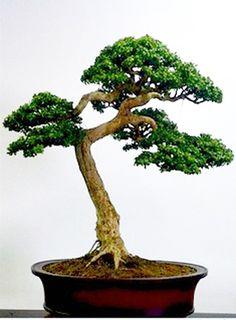 boxwood-bonsai-natl-arb-yugi