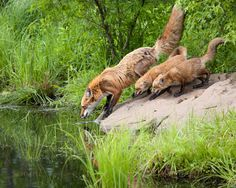 Red Foxes by Neil Schaffel on 500px