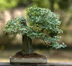 "1,383 Likes, 5 Comments -   Bonsai Addicted   (@bonsaiaddicted) on Instagram: ""Trident Maple (Acer buergerianum / Kaede)⠀ By Philippe Massard (France )"""