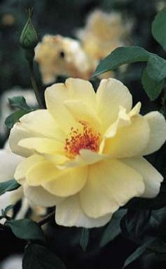 Stephen F. Austin - pioneer rose - fades to an almost cream color in warmer weather - a repeat bloomer - fragrant